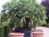 faecherpalme-kuebelpflanze