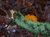 gelber-pilz-auf-totholz