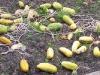 gurken-ernte