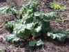 rhabarber-pflanze