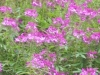 rosa-bluetenmeer