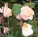 rosa-rosen