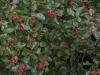 rote-fruechte