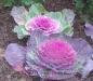 zierkohl-rosa